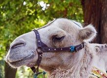Camel portrait Stock Photography