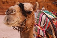 Camel posing in front of the Treasury in Petra, Jordan royalty free stock image
