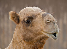 Camel with pouty lips. Close up of the face of a camel with pouty lips Stock Photography