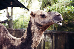Camel pretty portrait royalty free stock images