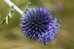 Camel prickle. Macro shot of a thistle flower Stock Photos