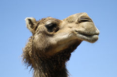 Camel profile. Profile of a camel - humorous Royalty Free Stock Photos