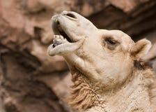 Camel Profile. Camel behavior on its habitat royalty free stock images