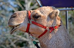 Camel Profile Royalty Free Stock Photo