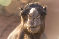 Camel profile close up Stock Images