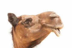 Camel profile close-up. Close-up of camel profile  on white background Royalty Free Stock Photography