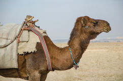 Camel profile. Profile of a camel in desert Royalty Free Stock Photography