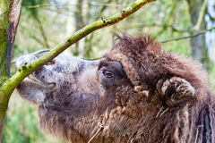 Camel in profile nibbling the bark of a tree Stock Photography