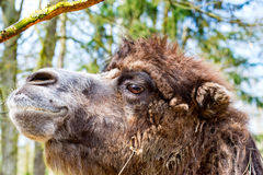 Camel in profile with slightly open mouth. The Camel in profile with slightly open mouth Royalty Free Stock Photo