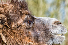 Camel in profile with slightly open mouth. A Camel in profile with slightly open mouth Stock Photo
