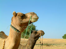 Camel profiles. Two camels staring into the distance Royalty Free Stock Image