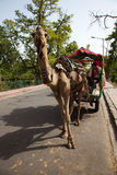 Camel pulling cart in India Royalty Free Stock Images