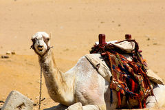 Camel pulling a funny face. Camel relaxing by the Pyramids of Giza, munching away Royalty Free Stock Images