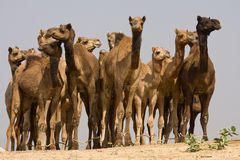 Camel at the Pushkar Fair , India Royalty Free Stock Photos