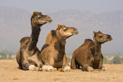 Camel at the Pushkar Fair, India Stock Photography