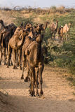Camel at the Pushkar Fair , India Stock Photos