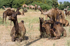 Camel at the Pushkar Fair , Rajasthan, India Royalty Free Stock Photos