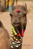 Camel at the Pushkar Fair in Rajasthan, India Stock Photos