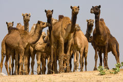 Camel at the Pushkar Fair.  Rajasthan, India Royalty Free Stock Photos