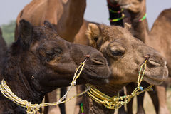 Camel at the Pushkar Fair.  Rajasthan, India Royalty Free Stock Photo