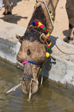 Camel at the Pushkar Fair , Rajasthan, India Royalty Free Stock Photos