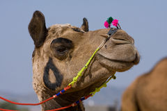 Camel at the Pushkar Fair , Rajasthan, India Stock Image