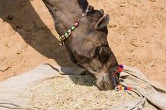 Camel at the Pushkar Fair , Rajasthan, India Stock Image