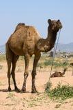 Camel at the Pushkar Fair , Rajasthan, India Royalty Free Stock Image
