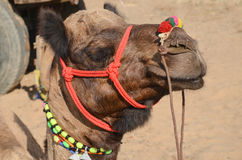 Camel, Pushkar, India. Tattooed camel with colourful necklace around neck Royalty Free Stock Images
