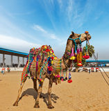 Camel at Pushkar Mela (Pushkar Camel Fair),  India Royalty Free Stock Photo