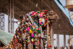 Camel at Pushkar Mela (Pushkar Camel Fair),  India Royalty Free Stock Photos