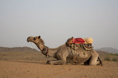 Camel in Pushkar sanddunes Stock Images