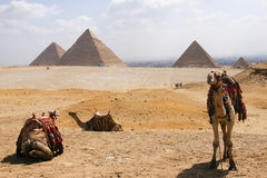Camel with pyramid royalty free stock photos