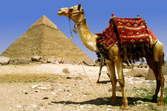 Camel and pyramid. Decorated camel in front of pyramid of Gizeh, Cairo, Egypt Royalty Free Stock Images