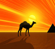 Camel and Pyramid Royalty Free Stock Photo