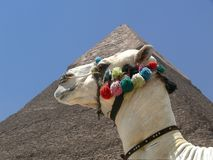 Camel and Pyramid Royalty Free Stock Photography