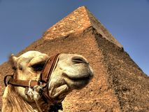 Camel and pyramid Stock Image