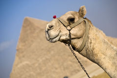 Camel and the pyramids Stock Image