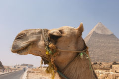 Camel at the pyramids stock images