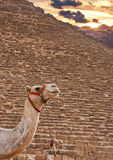 Camel and Pyramids Royalty Free Stock Photo