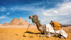 Camel and Pyramids of Giza. Camel in the Egyptian desert with the pyramids of Giza in the background Stock Photos
