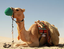Camel in Qatar Desert. Lying Camel at rest with Qatar desert in the background Royalty Free Stock Images