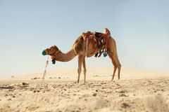 Camel in Arabian Desert. Camel at rest standing in a Qatarian desert Royalty Free Stock Photos