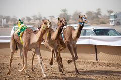 Camel Race. Camel racing is a popular sport in Pakistan, Saudi Arabia, Egypt, Bahrain, Jordan, Qatar, United Arab Emirates, Oman, Australia, and Mongolia Royalty Free Stock Photo