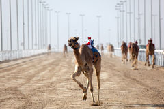 Camel race in Doha, Qatar Royalty Free Stock Images