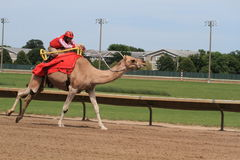 Camel race Stock Photos