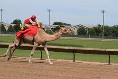 Camel race. Prairie Meadows, Altoona, Iowa stock photos