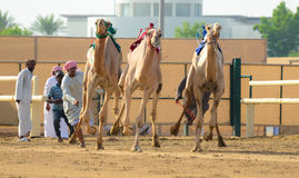 Camel Race. Camel Racing in United Arab Emirates Stock Photography