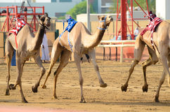 Camel Race. Camel Racing in United Arab Emirates Royalty Free Stock Photography