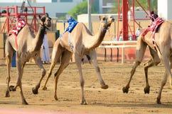 Camel Race Royalty Free Stock Photography